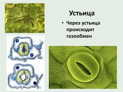 Газообмен растений