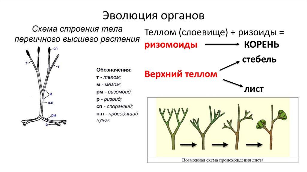 Эволюция корня