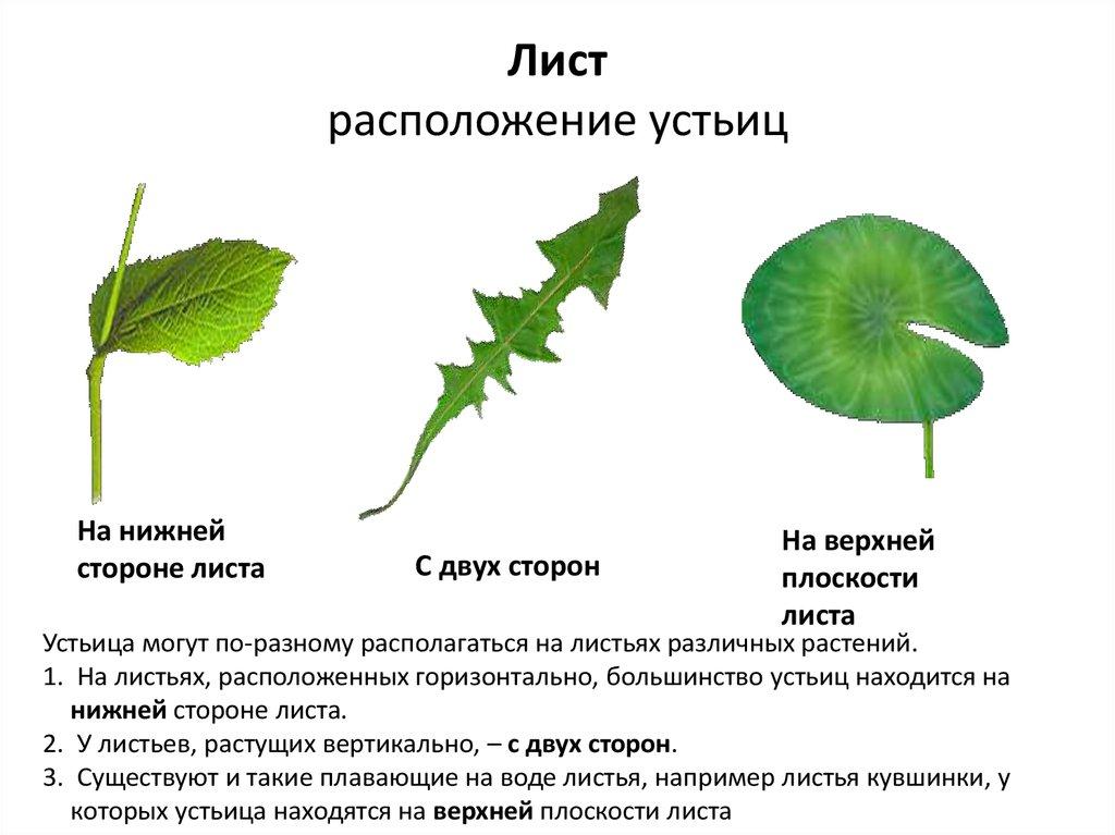 Устьица растений