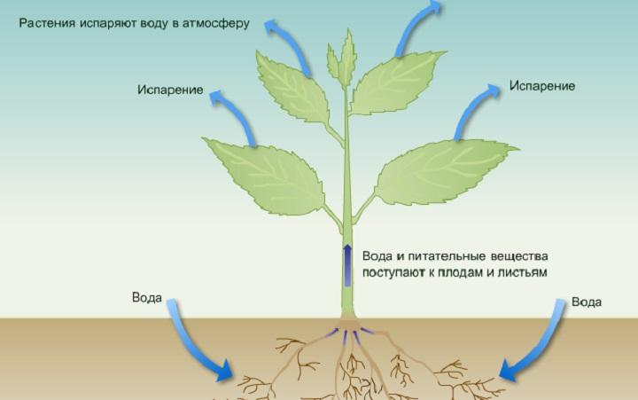Движение воды в растении