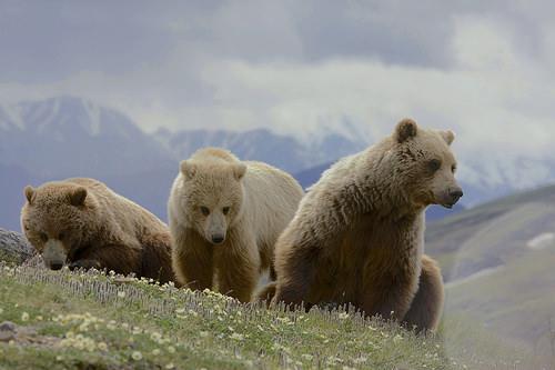 К чему снится медведь женщине. Сонник по Миллеру, Ванге, Фрейду.