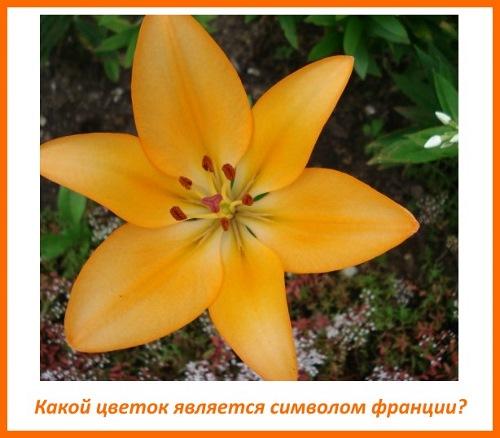 Какой цветок является символом франции